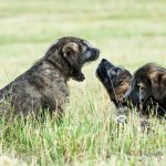 "Vrh ""G"" Irish Wolfhound Casidy ray"