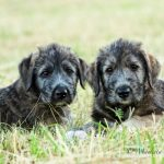 "Vrh ""G"" Irish Wolfhound Casidy ray"