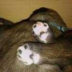 "Vrh ""F"" Irish Wolfhound Casidy ray"